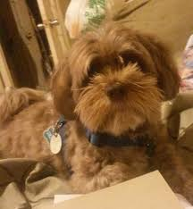 My Lhasa Apso Is Shedding Hair by Lhasapoo Dog Breed Information And Pictures