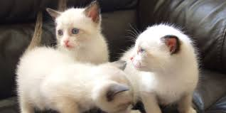 snowshoe cat snowshoe cat information characteristics facts names