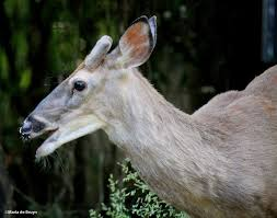 Does Deer Shed Their Antlers by Antler My Beautiful World