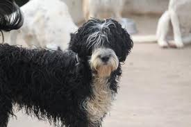 Portuguese Water Dog Non Shedding by Portuguese Water Dog Portuguese Waterdog Breed Info U0026 Pictures
