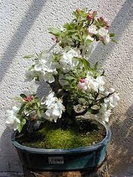 pot bonsai grande taille bonsaï wikipédia