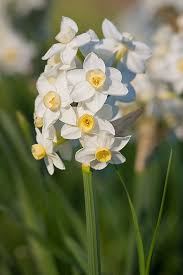 time to plant daffodils