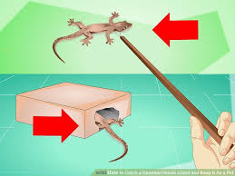 how to catch a common house lizard and keep it as a pet 14 steps
