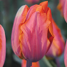 princess irene tulip single early tulip bulbs tulips