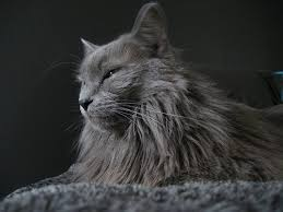haired cat 927 best pets images on breeds of cats haired