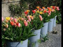 how to plant and grow tulips