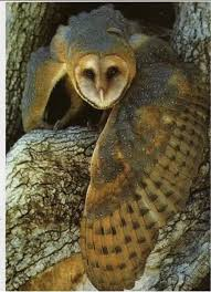 Pinned From Pin It For IPhone | Birds | Pinterest | Owl, Bird And ... How To Build A Barn Owl Nest Modern Farmer 33 Best Rescuing Wildlifemy Workmy Passion Images On Pinterest Boph Project Hampshire Bird Of Prey Hospital Chicks Youtube The Hide Prohides Photography Owls How Feed And Keep An Owlet Maya 20 Fun Facts About Trivia Bride Groom Wedding Cake Topper Paws News Three Beautiful Ashy Faced British Black Does Lookie Communicate With Me Owlhuman Love French Nows The Time Barn Owl Box Maintenance Lodi Growers