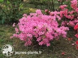 azalée du japon hinomayo rhododendron hinomayo