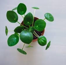 7 ungiftige pflanzen kein problem für haustiere pilea