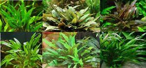 cryptocoryne assorties lot de 4 touffes plante aquarium facile