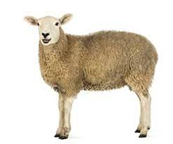 Shed More Light On Synonym by Sheep Synonyms Collins English Thesaurus