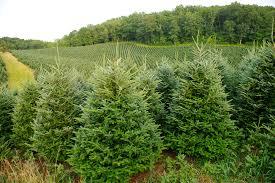 Fraser Fir Christmas Trees by Hart T Tree Farms Why Buy A North Carolina Fraser Fir