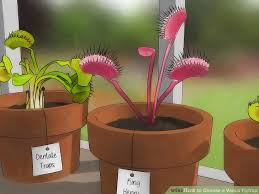 how to choose a venus flytrap 12 steps with pictures wikihow