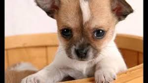 Hypoallergenic Dog Breeds That Dont Shed by Breeds Of Dogs That Don U0027t Shed Dogs That Don U0027t Shed Dogs