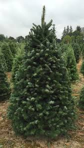 Nordmann Fir Christmas Trees Wholesale by Wood Mountain Christmas Trees