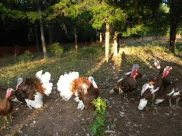 Heritage Turkeys Raising Turkeys Morning Routine Youtube 117 Best Helpful Tips And Tricks For Livestock Pets Images On What Do Wild Turkeys Eat Feeding Birds Your Homestead Homesteads Turkey 171 Ducks Geese Guineas Farm Tales A Holiday Feast In Our Own Backyard Free 132 Pinterest Backyard Chickens 1528 Chickens Coops Chicken How To Raise Hgtv Bring Up Other Fowl