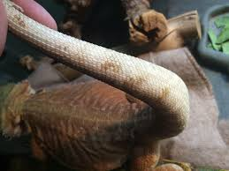Bearded Dragon Shedding Behavior by Brownish Spots On Tail Also Behavior Question U2022 Bearded Dragon Org