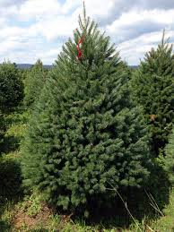 Fresh Christmas Trees Types by Hill Farms Types Of Christmas Trees