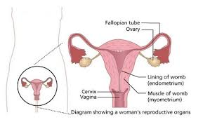 Shedding Uterine Lining After Miscarriage by What Is Menstrual Cycle