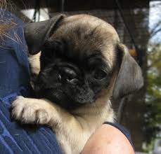 Do Pugs And Puggles Shed by Do Puggles Shed Preston The Puggle Archive Furminator