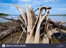 Driftwood Christmas Trees Sydney by Buttress Roots Of A Tropical Tree Stock Photos U0026 Buttress Roots Of