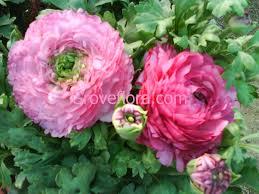 groveflora gardening supplies india buy flower bulbs