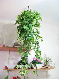 hängende pflanzen als indoor dekoration archzine net