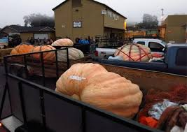 Half Moon Bay Pumpkin Festival Winner by Oregon Farmer Wins Pumpkin Contest As Gourds Weigh Less In Drought