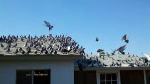 bird archives pigeon az