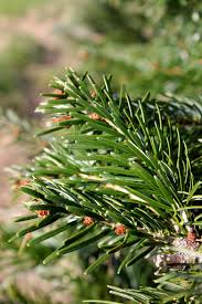 Canaan Fir Christmas Tree Needle Retention by Christmas Tree 2013 Your Guide To The Perfect Pick Pennlive Com
