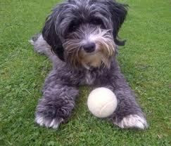 Graceland Sheds Gallup Nm by 12 Rat Terrier Mix Shedding Xoloitzcuintle Wikipedia La
