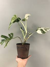 white variegated monstera deliciosa borsigiana
