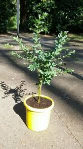 winterharter eukalyptus eucalyptus parvula baum sehr selten