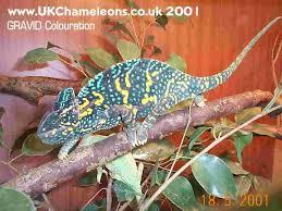 Basking Lamp For Chameleon by Veiled Yemen Chameleon Care
