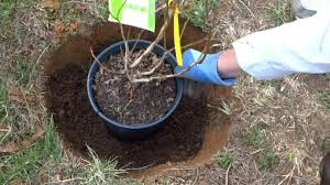 planting blueberry bushes can be complicated how to plant