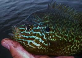 Pumpkin Seed Sunfish Pictures by Northern Pike D U0026 B Ice Adventures