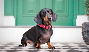 Do Black And Tan Coonhounds Shed by Dachshund Dog Breed Information