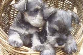 Do Giant Schnauzer Dogs Shed Hair by Spotcombengal Cats Shades Of Gray Purebred Miniature Schnauzers