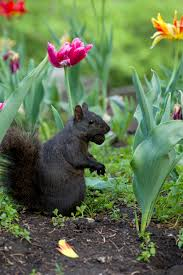 protecting bulbs keeping rodents away from flower bulbs