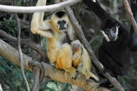 Bronx Zoo Halloween 2014 by Julie Larsen Maher 9709 White Cheeked Gibbons And Baby Jun Ba 01 03 13 Jpg