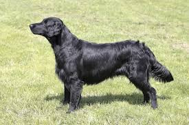 Chesapeake Bay Retriever Shed Hunting by Types Of Hunting Dogs