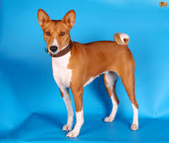 Do All Dogs Shed Their Fur by Dog Breeds That Don T Shed Dog Breeds Puppies