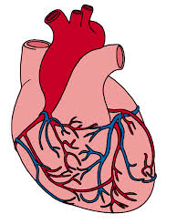 Anatomical Heart Clipart Many Interesting Cliparts
