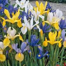 buy cheap iris bulbs iris bulbs direct from the grower