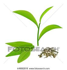 Clip Art Of Green Tea Leaves And Twig Fermented Isolated On