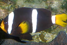 clark s anemonefish aquarium la rochelle