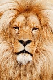 traumsymbol löwe träumen traumdeutung und mehr