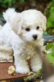 best 25 cutest small dog breeds ideas on pinterest fluffy pets