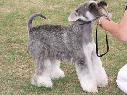 Do Giant Schnauzer Dogs Shed Hair by Anti Docking Dogs U0027 Tails And Cropping Of Dogs U0027 Ears Puppy Sales