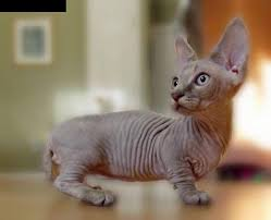munchkins cats the most adorable munchkin cat breeds